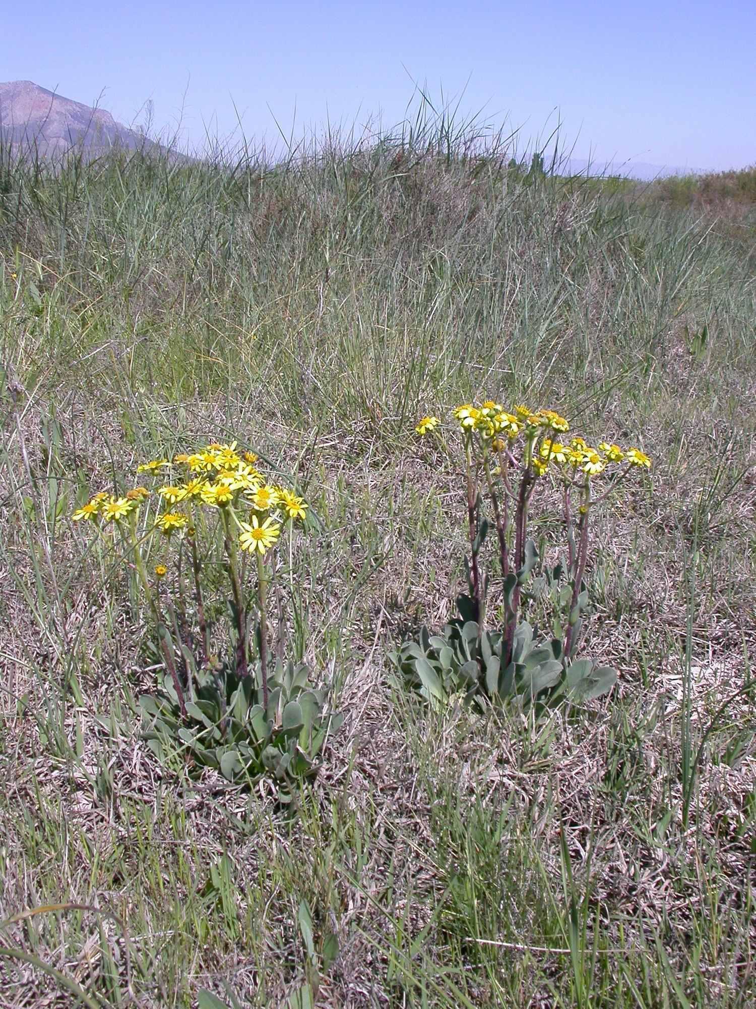 Medio ambiente elige al senecio como planta del mes en for Jardin botanico almeria