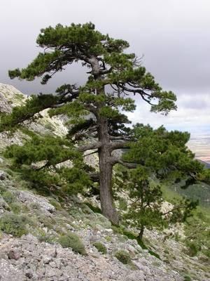 Medio Ambiente elige al pino laricio como planta del mes de diciembre en el Jardín Botánico 'Umbría de la Virgen'