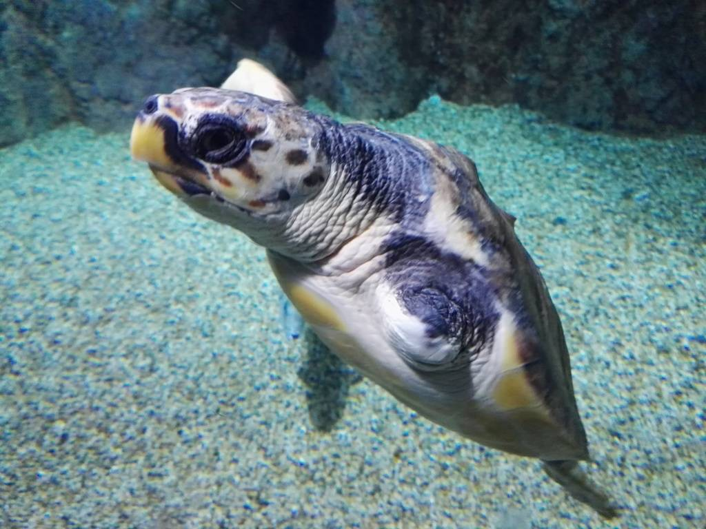 La Tortuga Juan Cumple Su Primer A O En El Aquarium Con