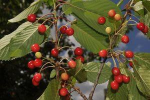 El cerezo es la planta del mes en el Jardín Botánico 'Umbría de la Virgen'