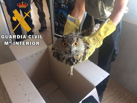 La Guardia Civil recupera y entrega a Medio Ambiente un Búho Real herido