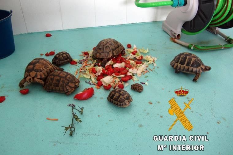 Un detenido con siete tortugas moras ocultas en el equipaje