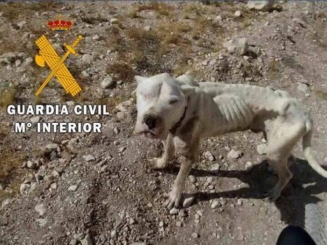 "Guardia Civil auxilia a un""Dogo Argentino"" encontrado en Chirivel"