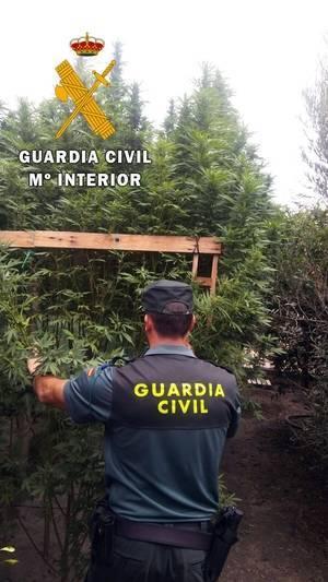 La Guardia Civil localiza 279 plantas de marihuana camufladas entre olivos