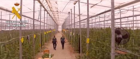 Desmantelada la mayor plantación de marihuana en invernadero de Almería