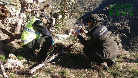 Agentes de Medio Ambiente encuentran cuatro jabalíes muertos atrapados por lazos