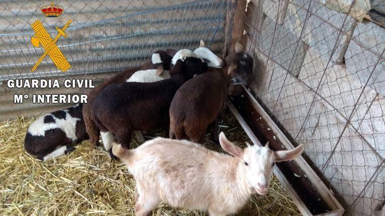 Roba seis corderos de tres meses valorados en 240 euros