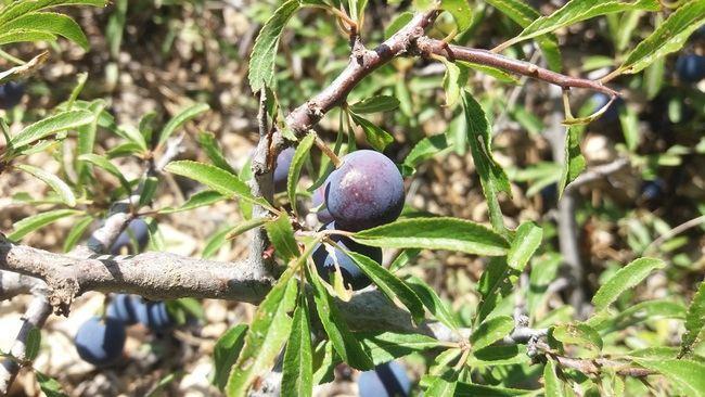 Medio Ambiente elige el 'Endrino' como planta de marzo en el Jardín Botánico 'Umbría de la Virgen'