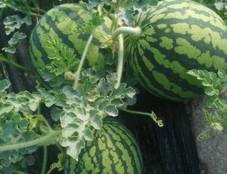 La Junta impulsa 'No cortes en verde' ni sandía ni melón