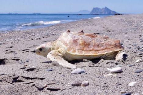 El Ayuntamiento de Roquetas de Mar informa cómo actuar ante el varamiento de un cetáceo o tortuga marina