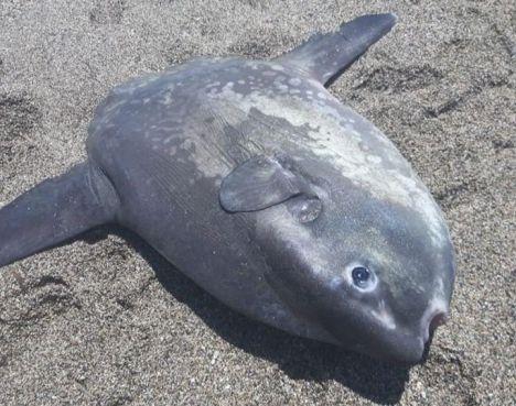 Buscan sancionar por desobediencia al que mató a un pez luna por no ser delito