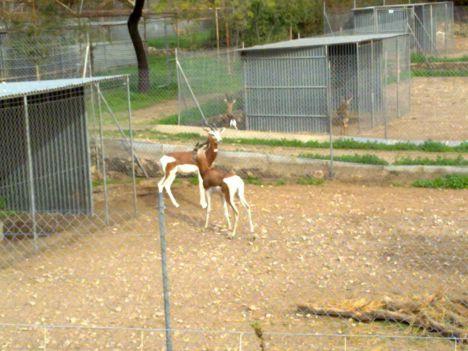 Nuevo núcleo zoológico se une al Programa de Cría en Cautividad de la gacela de Cuvier