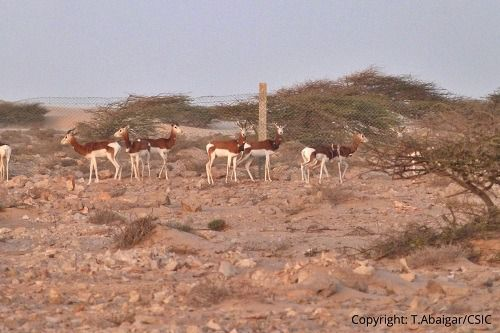 Obtienen los primeros datos sobre ecología de la gacela mohor en libertad