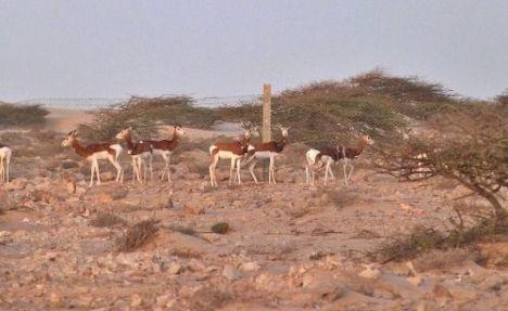El CSIC y el parque Desierto de Tabernas colaboran en la conservación de ungulados