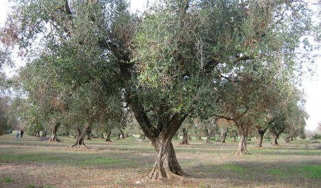 La Junta ajusta los seguros del olivar a las necesidades del sector