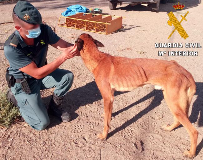 Investigan al propietario de un perro Pastor Belga Malinois por tenerlo desnutrido