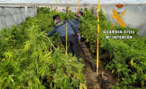 Dos detenidos por cultivar marihuana entre invernaderos de Nacimiento
