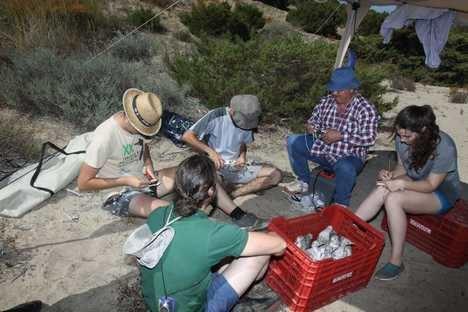 """Junta, voluntarios ambientales y el grupo Rodopechys anillan 109 pollos de gaviota picofina en """"Punta Entinas-Sabinar """""""