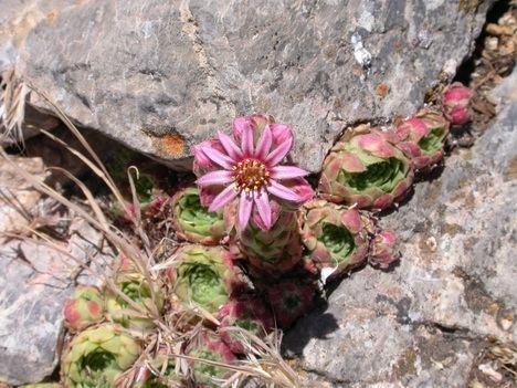 """La """"Siempreviva"""", planta del mes en el Jardín Botánico 'Umbría de la Virgen'"""