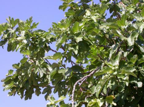 La higuera es planta del mes en el Jardín Botánico Umbría de la Virgen