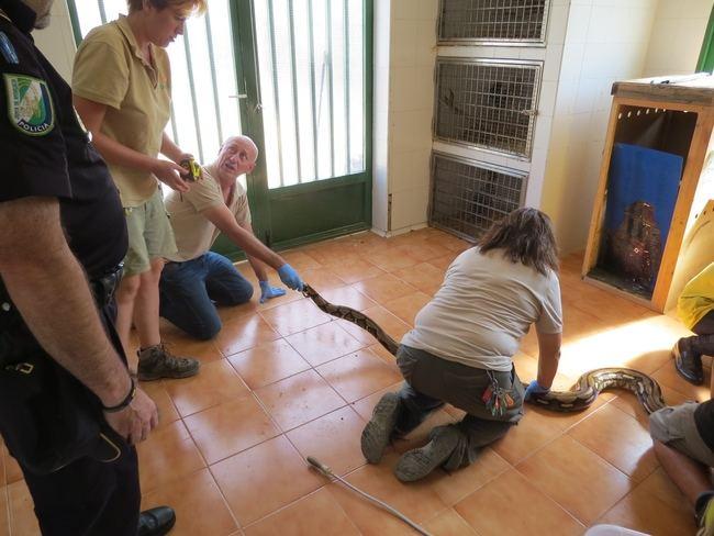 Incautada una serpiente pitón de más de tres mestros en Almería