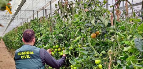 Detenido por robar al menos 150 kilos de tomate en La Mojonera y El Ejido