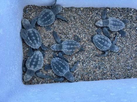 20 crías de tortuga boba viajan de Almería a Algeciras