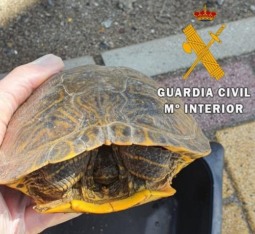 "La Guardia Civil recupera un galápago de Florida ""Trachemys Scripta"""