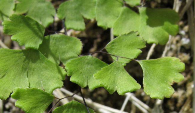 El 'culantrillo' es la planta del mes de diciembre en el Jardín Botánico Umbría de la Virgen