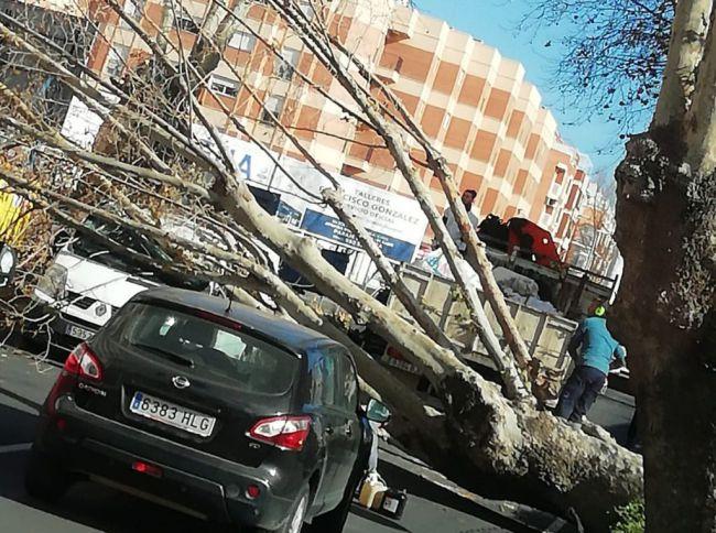 Helena derriba un árbol de gran porte en Adra