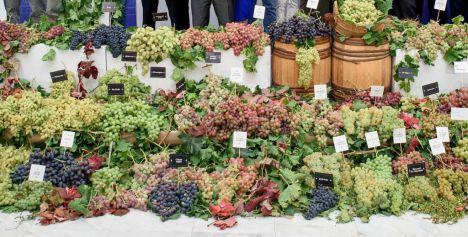 Reparto en Fondón de 1.200 parras de variedades históricas de uva de mesa de Almería