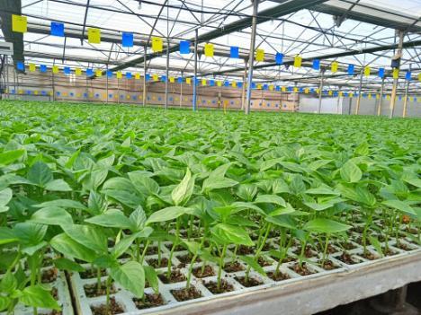Almería producirá más pimiento y menos tomate