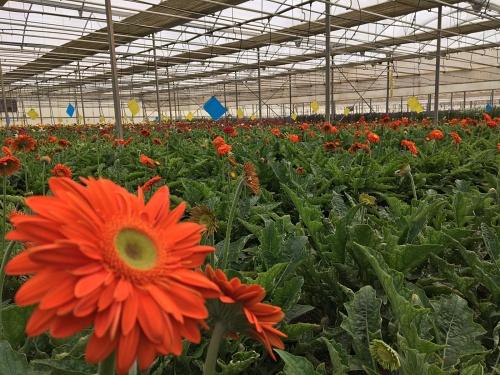 Situación crítica en el sector de la flor cortada de Almería