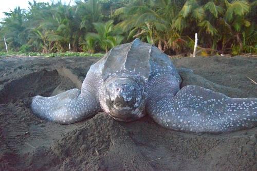 El cambio climático amenaza a tortugas con tres millones de años