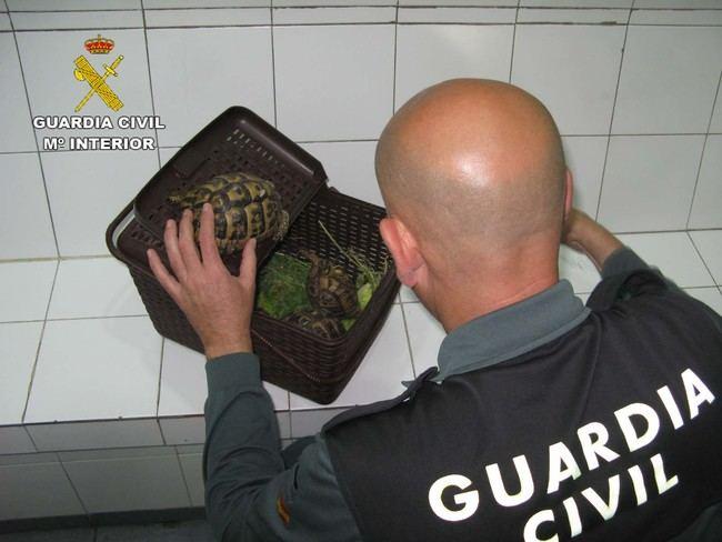 Intervenida una tortuga mora en desembarco procedente del Norte de África