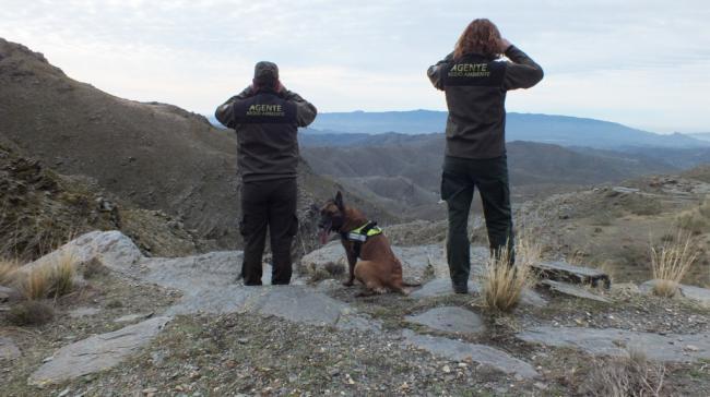 Refuerzo de vigilancia durante la berrea del ciervo