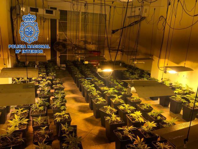 Desmantelada una plantación indoor de marihuana en Los Molinos