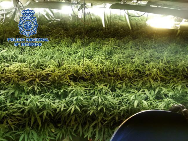 Alquilan dos viviendas y las convierten en plantaciones de marihuana