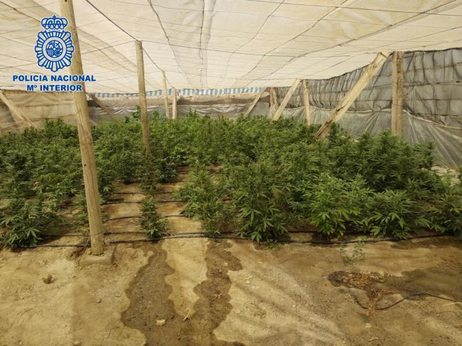 Desmantelan en El Ejido un invernadero de marihuana vigilado por un perro de presa
