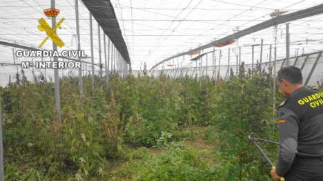 Localizan más de 1000 plantas de marihuana en un invernadero en Gádor