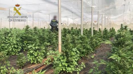La Guardia Civil localiza otro invernadero de marihuana con 6500 plantas