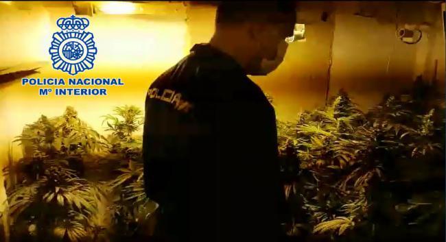 Desmantelan una plantación de marihuana en un dúplex de El Ejido