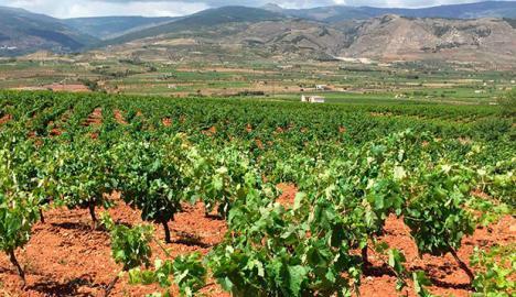 La Junta respalda la reestructuración y reconversión de viñedos con 2,2M € en ayudas