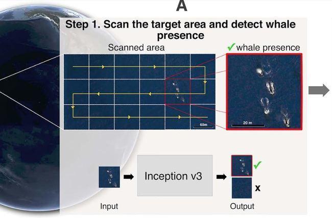 La UAL crea un método de contar ballenas en los océanos
