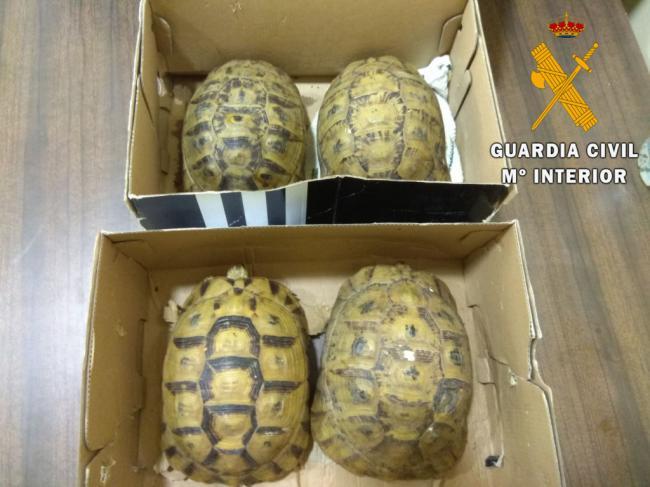 Detenido por introducir en España con cuatro tortugas moras