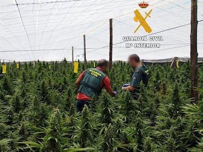 Detenidos en Guardias Viejas con 378 plantas de marihuana