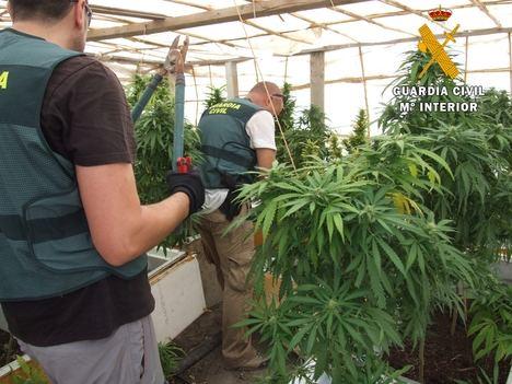 Localizadas 500 plantas de marihuana en una explotación minera de Cuevas del Almanzora