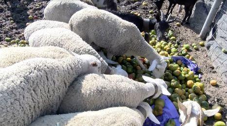 Agricultores tiran dos toneladas de tomates por los bajos precios