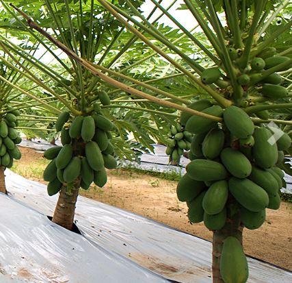 Almería quintuplica su venta de frutos subtropicales