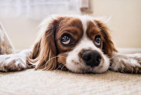 Cómo enseñar a tu perro a estar solo en casa sin asustarse